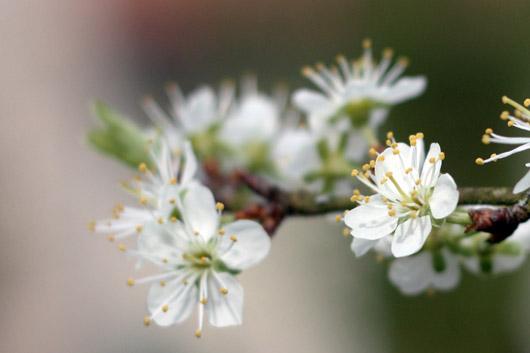 fleur-pommier
