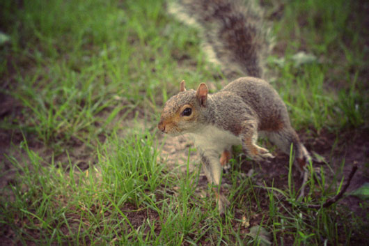 squirrel-central-park