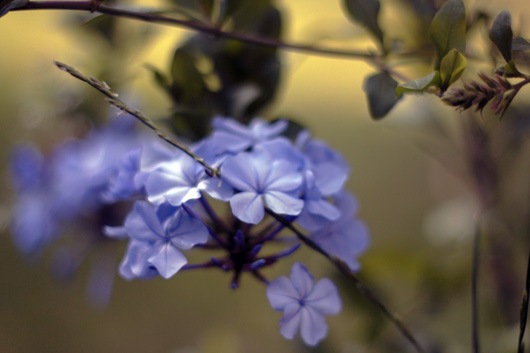 fleur-bleue2