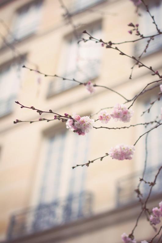 cherry blossom paris