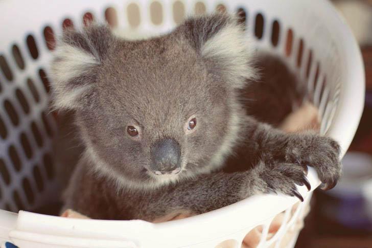 koala cute
