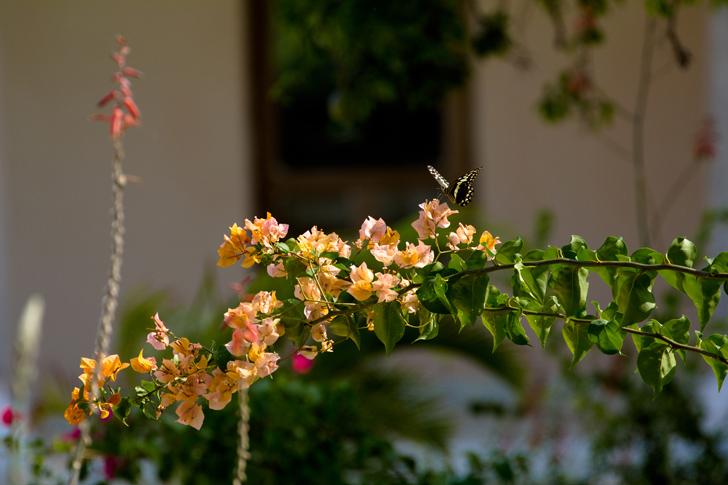 fleur papillon